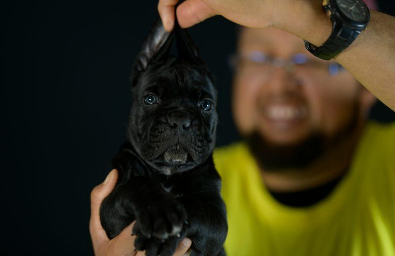 Buy cane corso puppies and italian mastiff in Newport, Rhode Island.