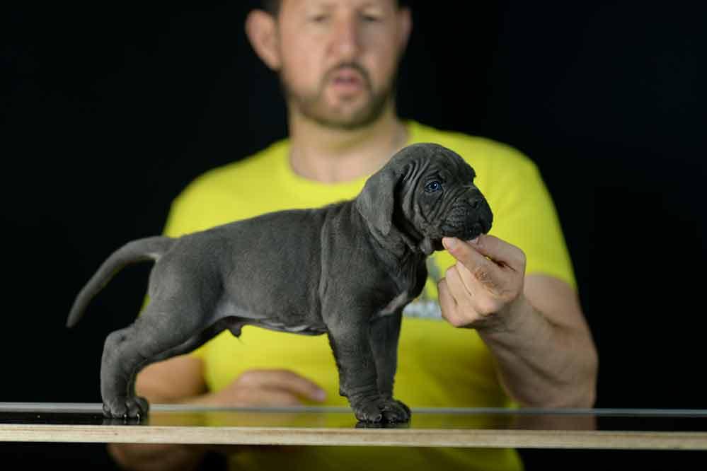 Buy cane corso puppies and italian mastiff in Newport, Rhode Island1