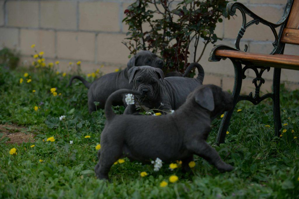 Buy dog cane corso puppies in Richmond and breeders of italian mastiff in Virginia1