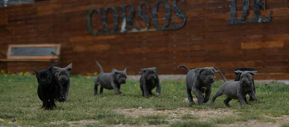Comprar Cachorros de Cane corso italiano y Venta de canecorsos en Guadalajara