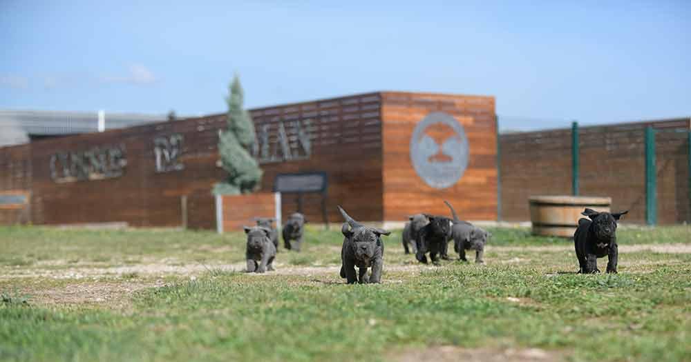 Comprar Cachorros de Cane corso italiano y Venta de canecorsos en Guadalajara1