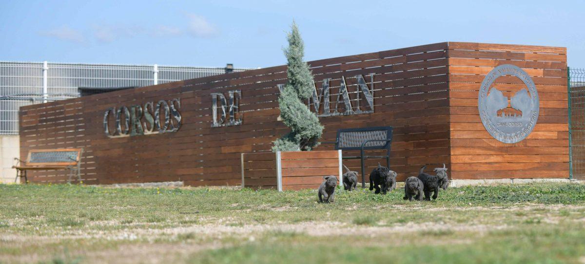 Comprar Cachorros de cane corso Italiano en Medellin y Criadores de mastin italiano en Colombia
