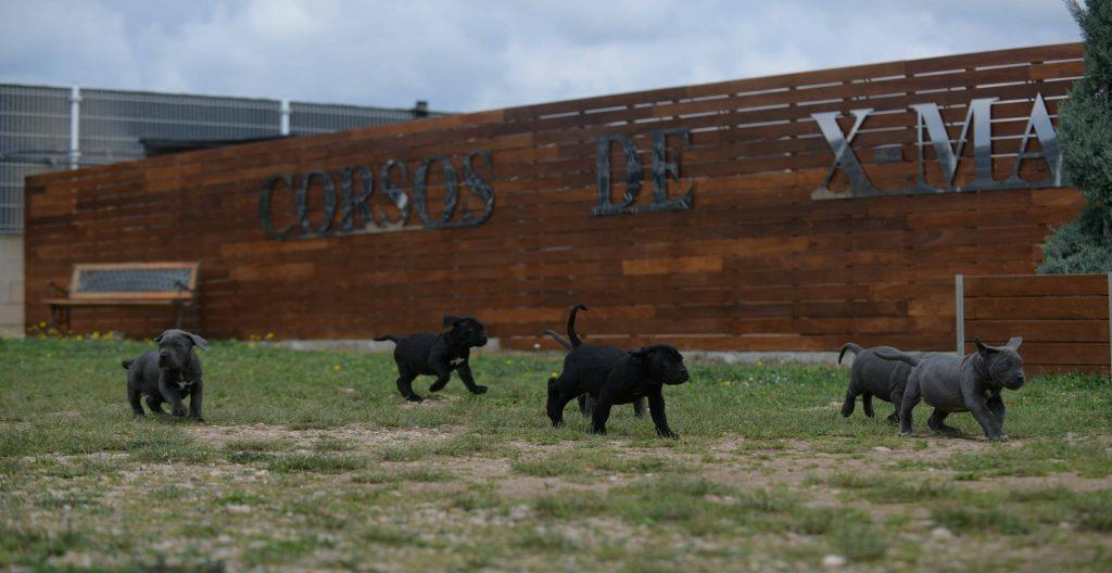 Comprar Cachorros de cane corso Italiano en Medellin y Criadores de mastin italiano en Colombia1