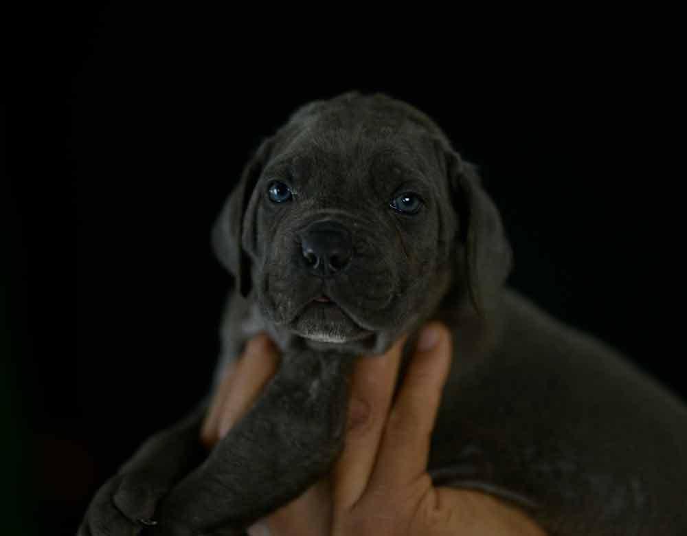 Comprar cachorros de cane corso en Casares y Criadores de cane corso en Malaga