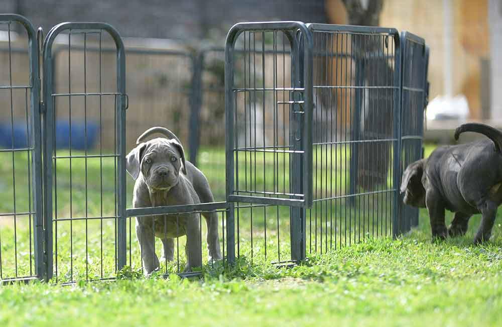 Comprar cachorros de cane corso en Casares y Criadores de cane corso en Malaga1