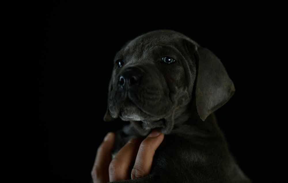 Comprar cachorros de cane corso en Guadalajara y venta de cachorros en Castilla La Mancha1