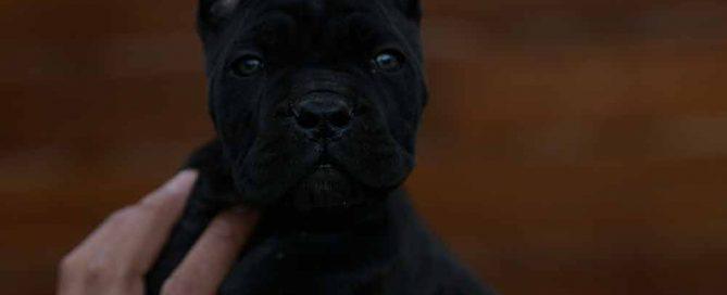 Comprar cachorros de cane corso en Segovia y Criadores de cane corso en Castilla La Mancha