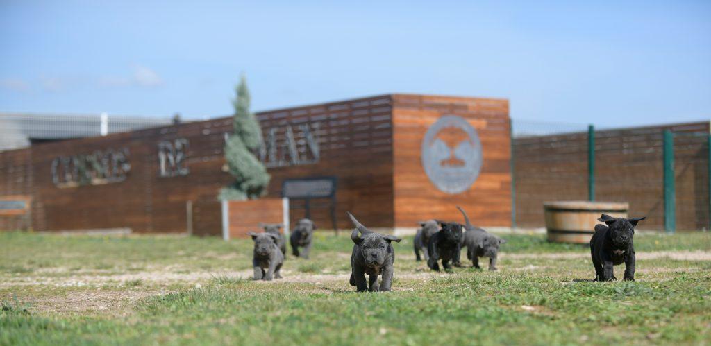 Comprar cachorros de cane corso en Segovia y Criadores de cane corso en Castilla La Mancha1