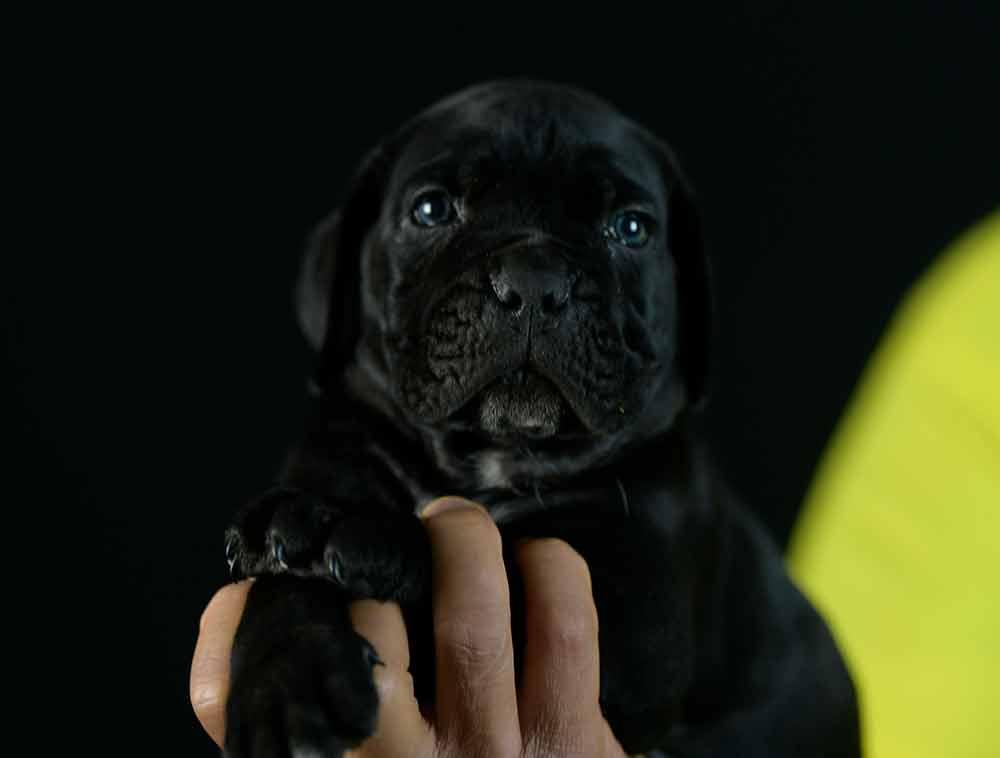 Comprar cachorros de cane corso italiano en Fuengirola Malaga