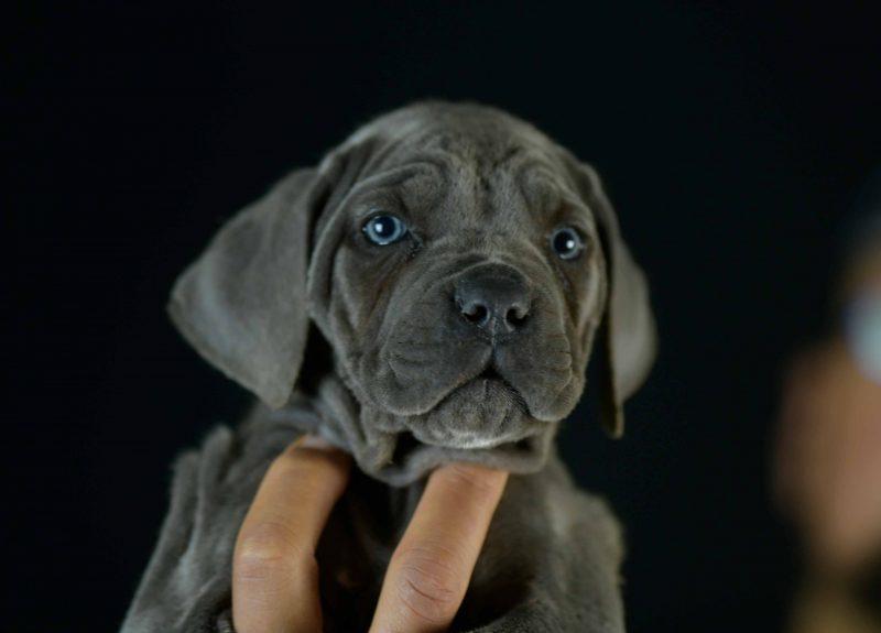 Comprar cachorros de cane corso italiano en Fuengirola y Criadores de cane corso en La Costa de Sol