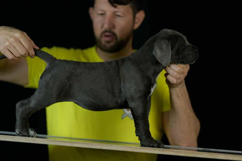 Comprar cachorros de cane corso italiano en Fuengirola y Criadores de cane corso en La Costa de Sol1