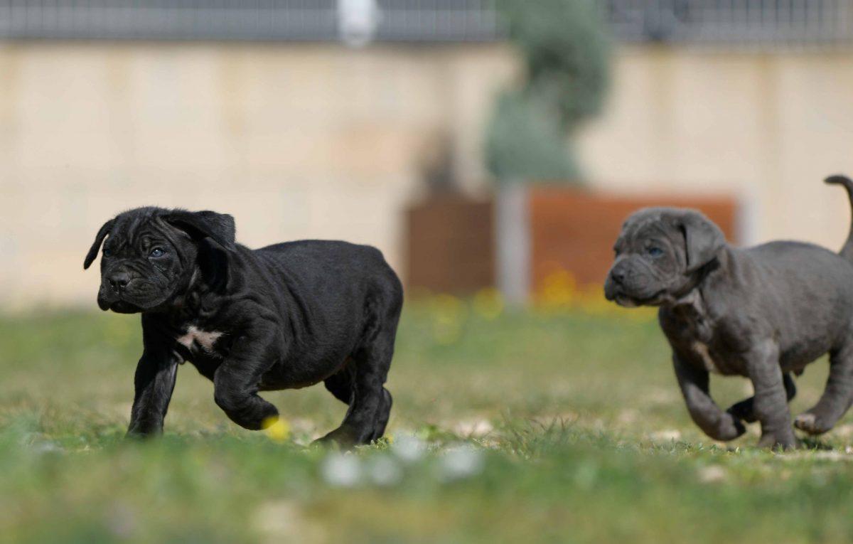 Comprar cachorros de cane corso italiano en Valencia