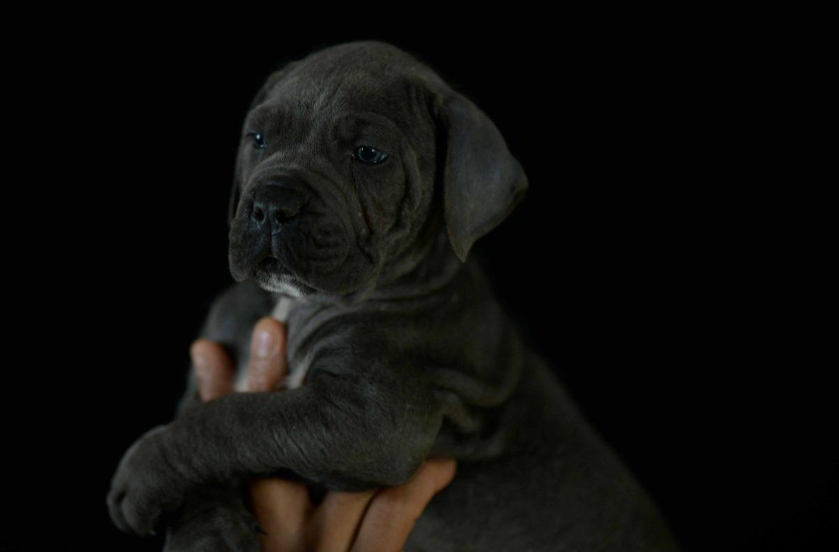 Comprar cachorros de cane corso italiano y Venta de perros mastin italiano en El Hierro