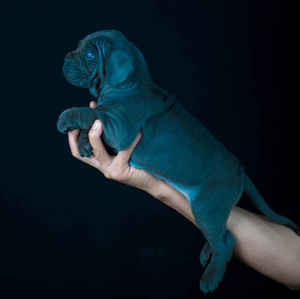Comprar cachorros de cane corso y criadores de cane corso italiano en Barcelona