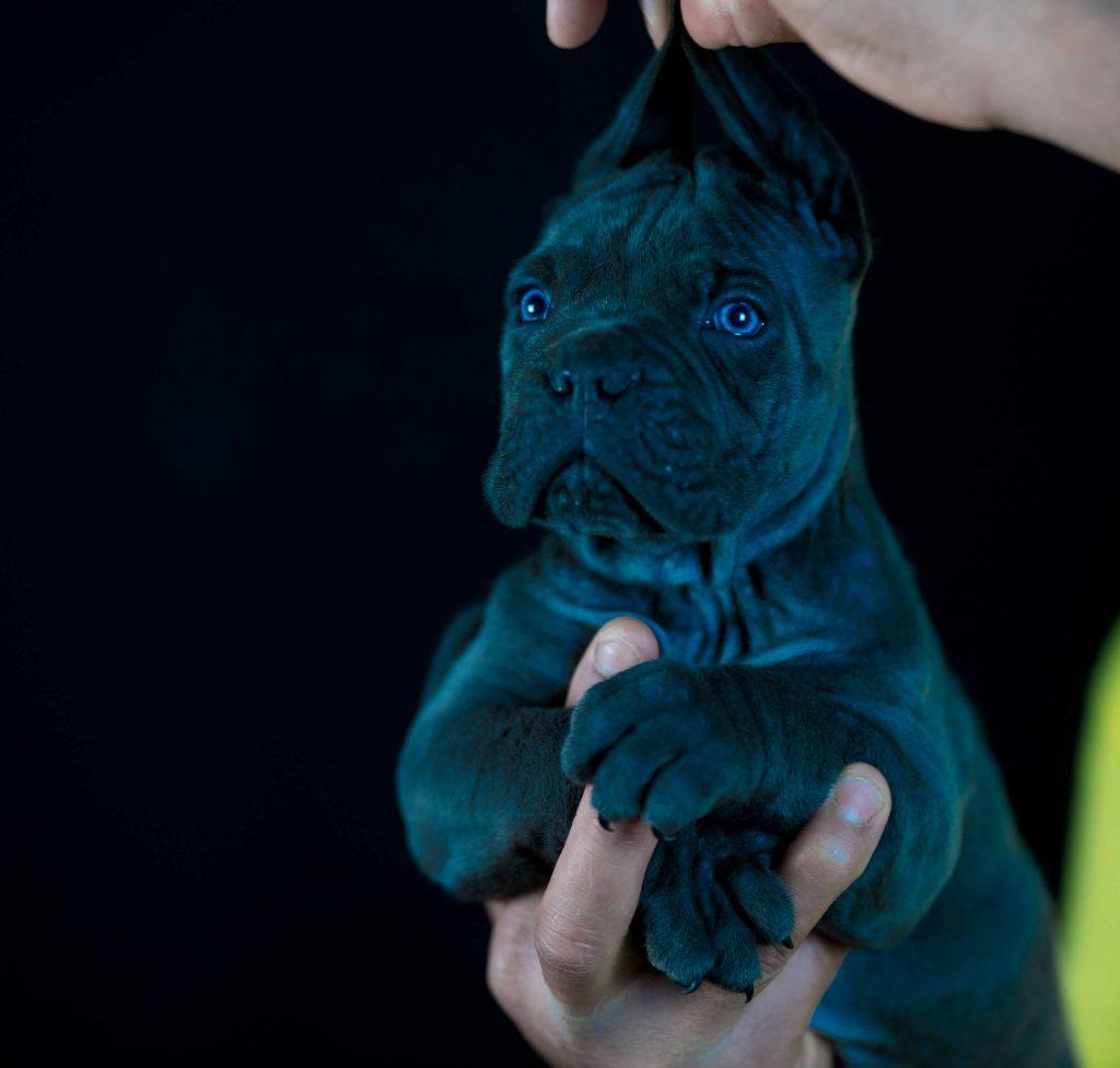 Comprar cachorros de cane corso y criadores de cane corso italiano en Barcelona1