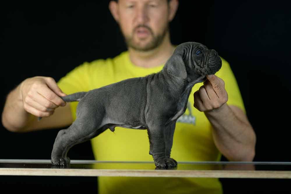 Comprar cachorros de cane corso y venta de cachorros de cane corso italiano en Albacete