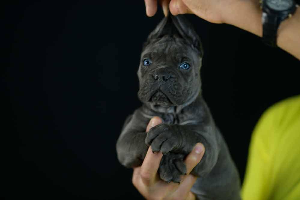 Comprar cachorros de cane corso y venta de cachorros de cane corso italiano en Albacete1