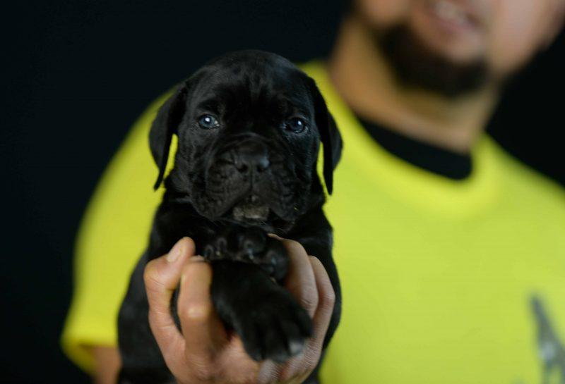 Comprar cachorros los mejores cachorros de cane corso en Sevilla