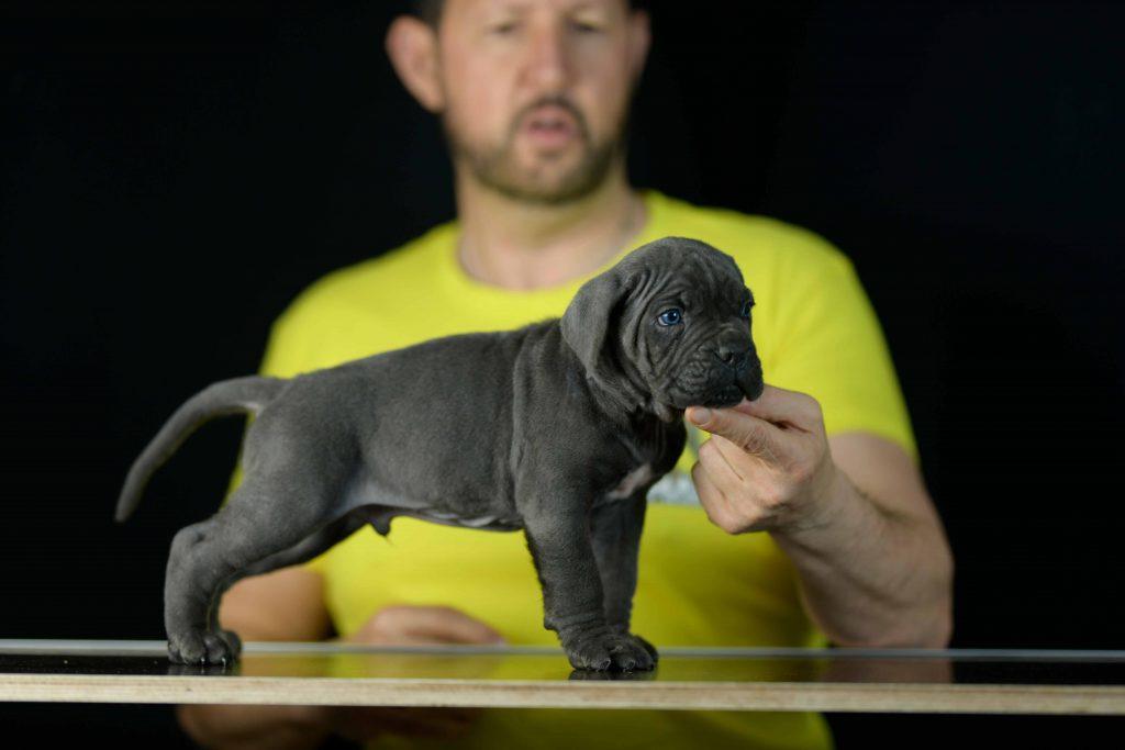 Comprar cachorros los mejores cachorros de cane corso en Sevilla1