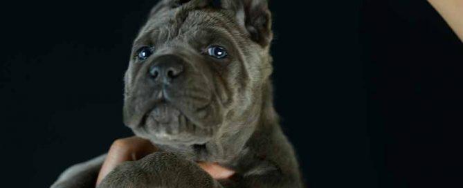 Comprar cane corso y cachorros en Toledo y criadores de cane corso en Castilla la Mancha