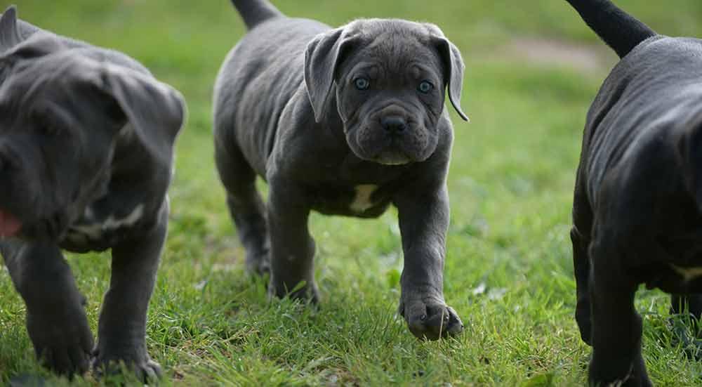 Comprar perro cane corso en Las Rozas Y Venta de cachorros de cane corso en la Moraleja Madrid1