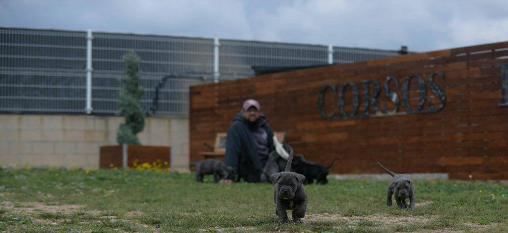 Comprar perro cane corso italiano en Palencia Y criadores de canecorso en Castilla leon1