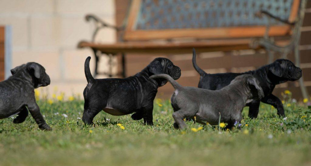 Covid-19 Coronavirus en los perros