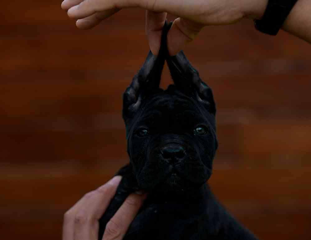 Donde Comprar cachorros de cane corso Ciudad de Mexico y Criadores de cane corso italiano en Mexico
