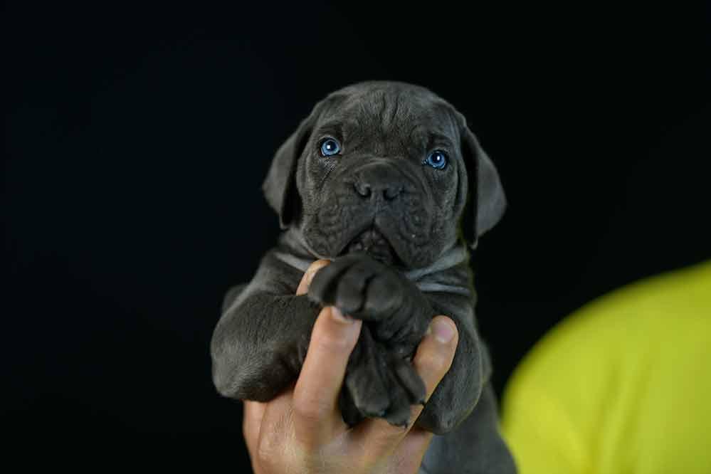 Donde Comprar cachorros de cane corso Italiano en Rosario y Criadores de Cane corso en Argentina