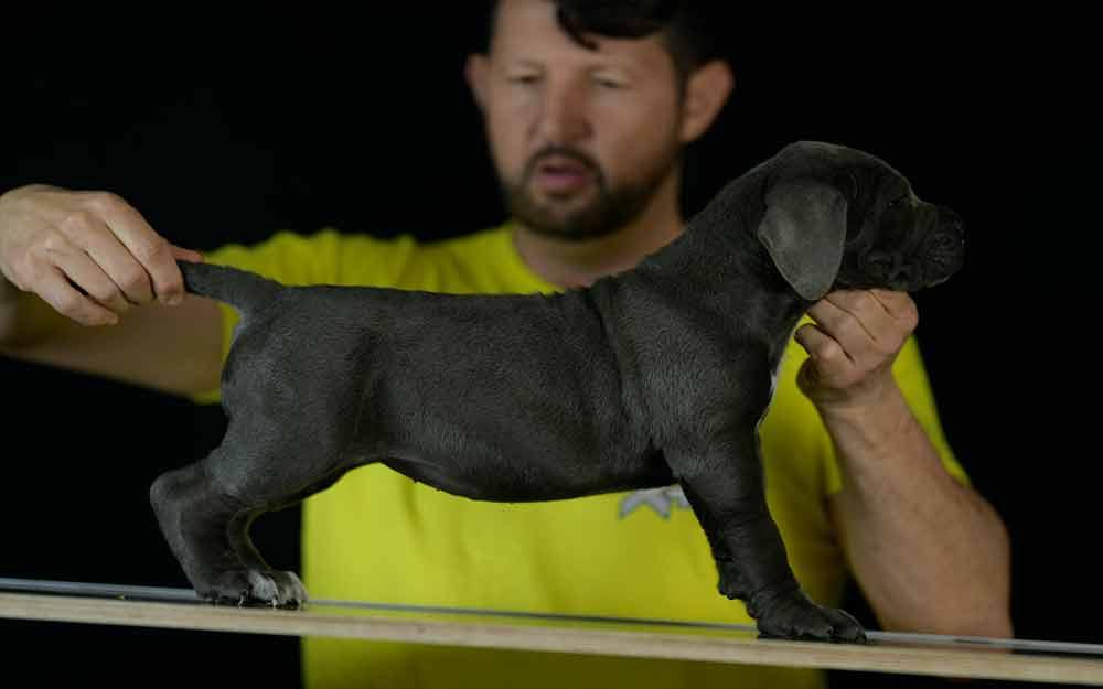 Donde Comprar cachorros de cane corso en San Juan Puerto Rico-PR1