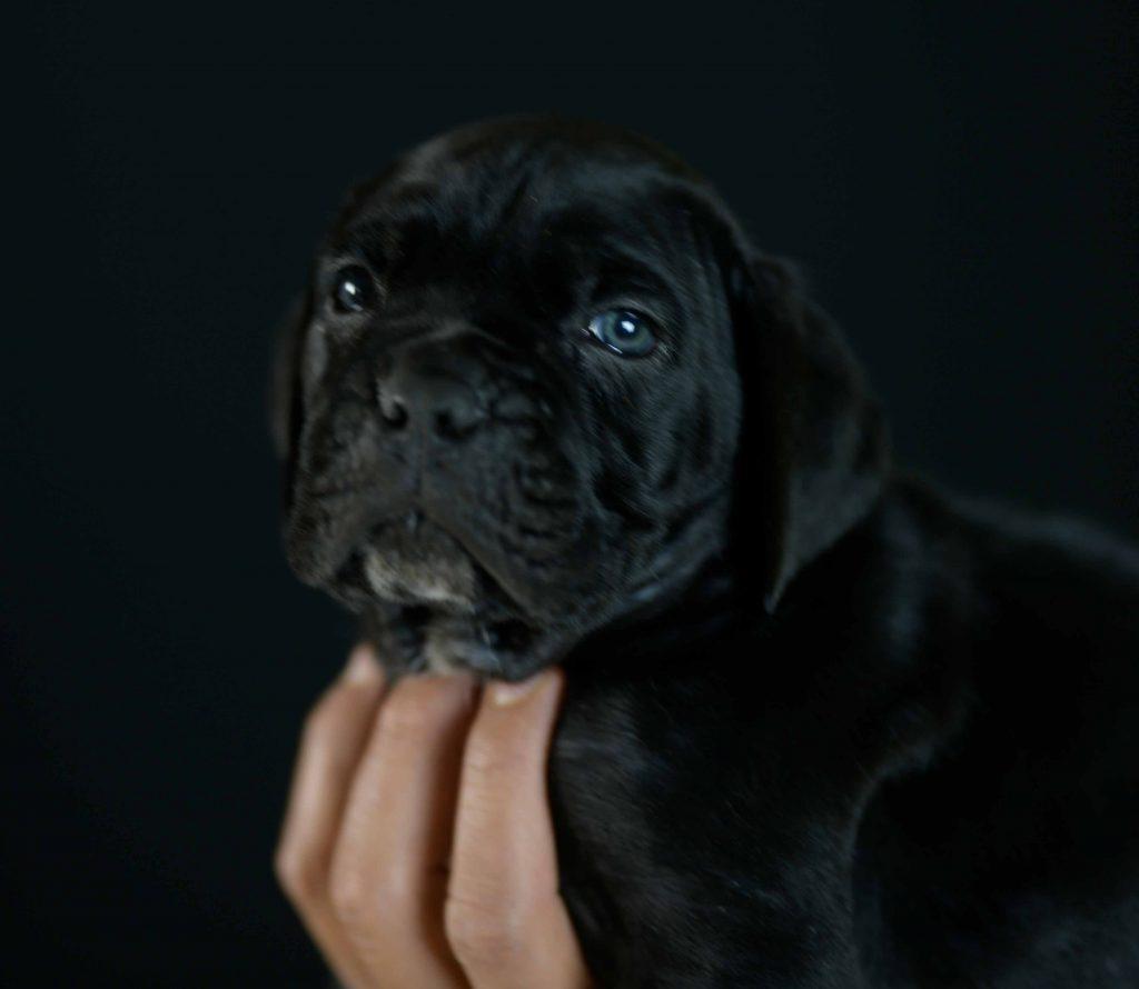 Donde Comprar cachorros de cane corso en Viña del Mar Y criadores de cane corso italiano en Chile1