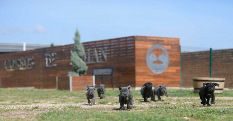 Donde Comprar perro cane corso italiano en Torrelodones y Venta de canecorsos en Madrid