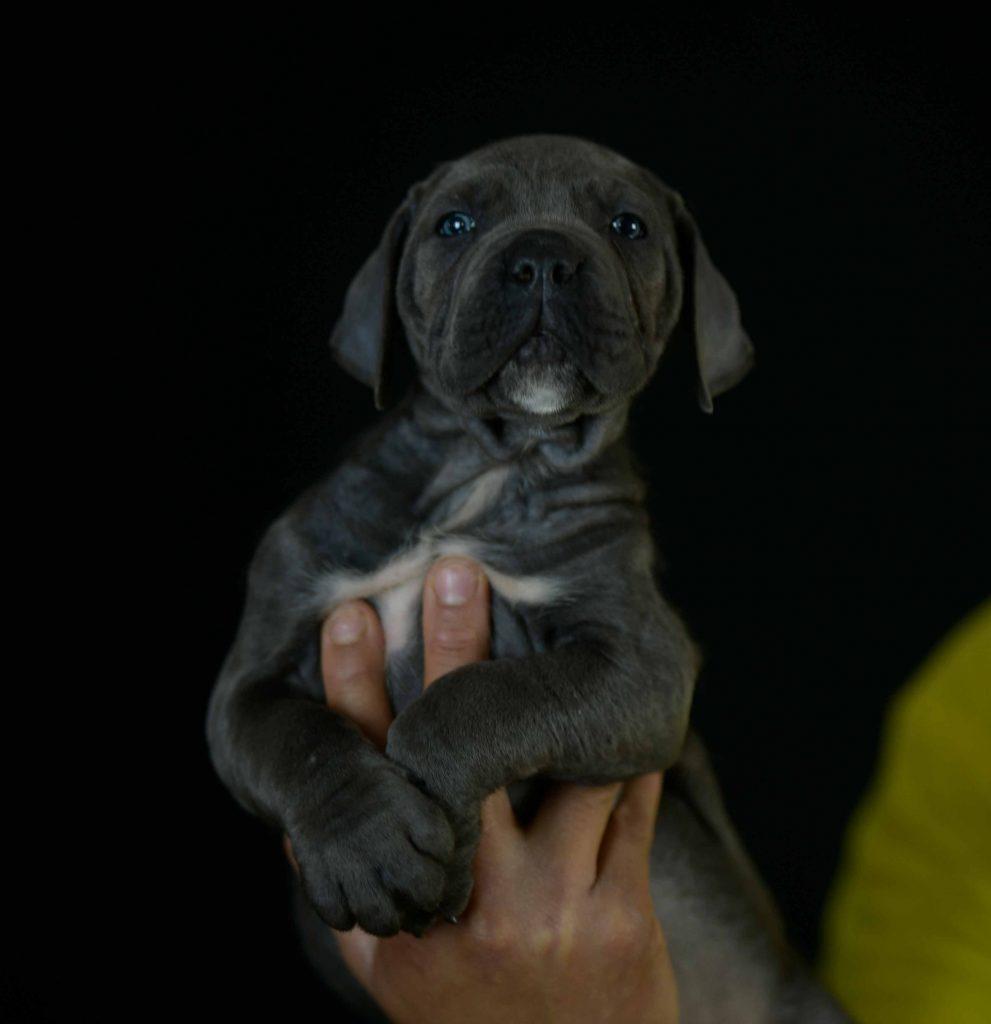 Donde Comprar un cachorro de perro cane corso en Torrevieja y Venta de cachorros de perro mastin italiano en Alicante