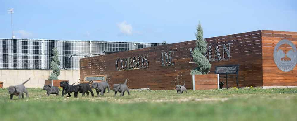 Donde Comprar un cachorro de perro cane corso en Torrevieja y Venta de cachorros de perro mastin italiano en Alicante1