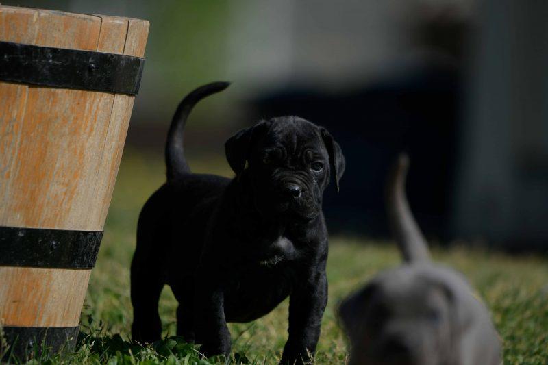 Donde comprar Cachorros de cane corso italiano en Calp y Venta de canecorso en Alicante
