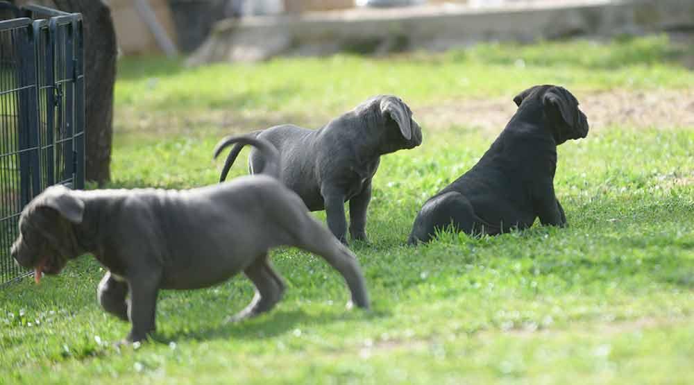 Donde comprar cachorros de cane corso en Costa del sol y Venta de cachorros de cane corso italiano