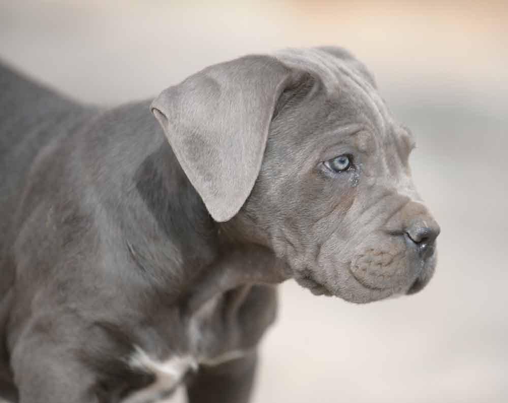 Donde comprar cachorros de cane corso en Costa del sol y Venta de cachorros de cane corso italiano1