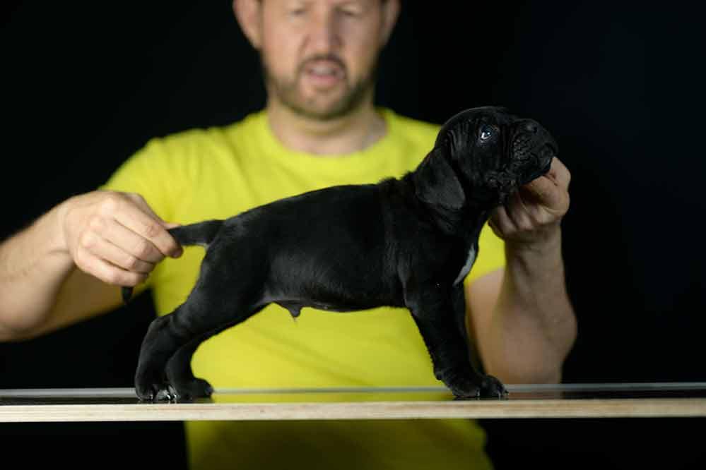 Donde comprar cachorros de cane corso en Guadamar del Segura Y venta de cachorros de cane corso Italiano en Alicante