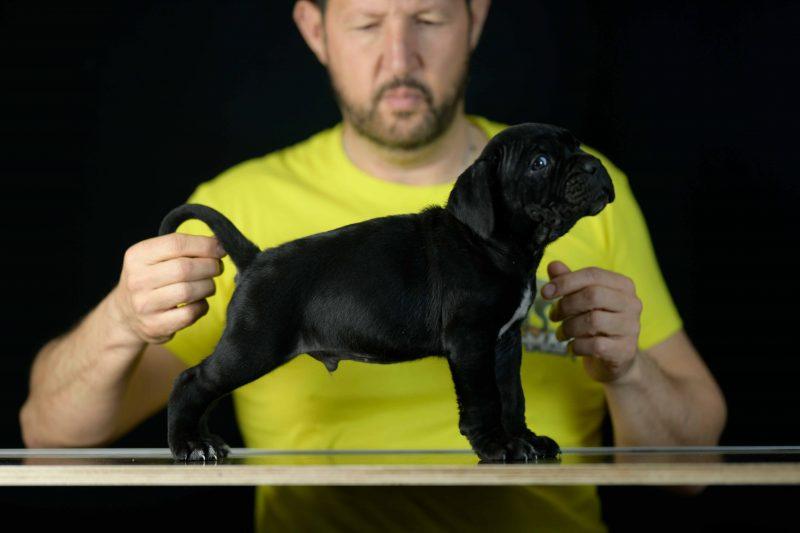 Donde comprar cachorros de cane corso en Manilva Y Criadores de cane corso italiano en Malaga