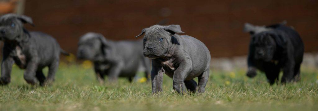 Donde comprar cachorros de cane corso en Montevideo y Criadores de cane corso italiano en Uruguay1