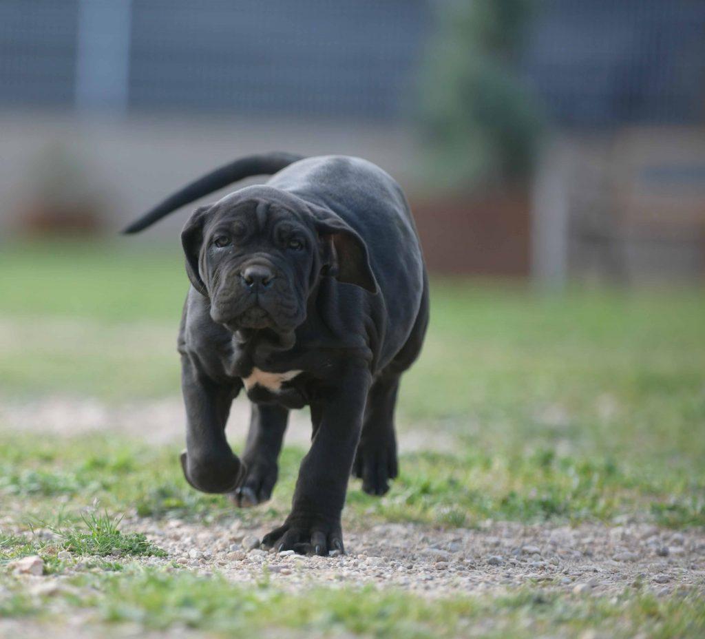 Donde comprar cachorros de cane corso en Pozuelo de Alarcón y Criadores de canecorso en Madrid1