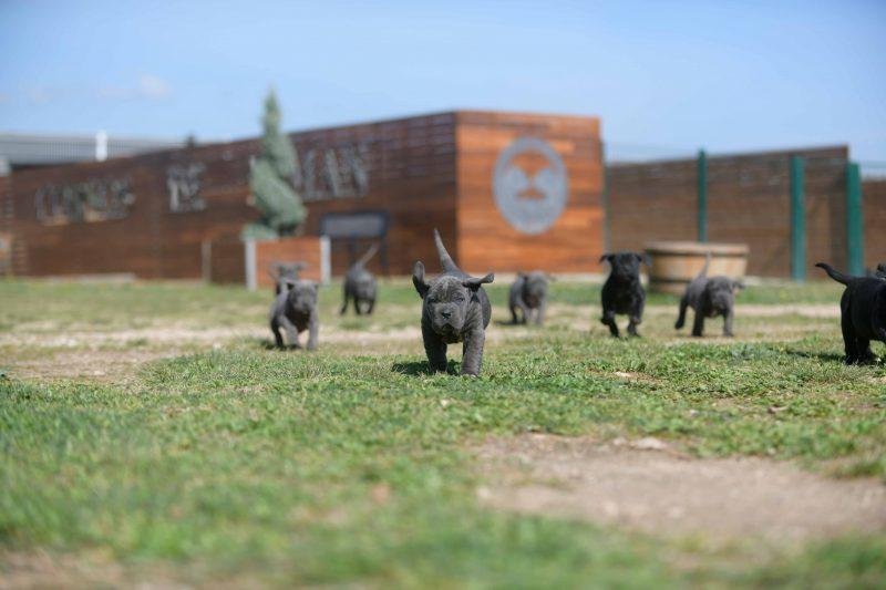 Donde comprar cachorros de cane corso en Santiago de chile y criadores de cane corso en Chile