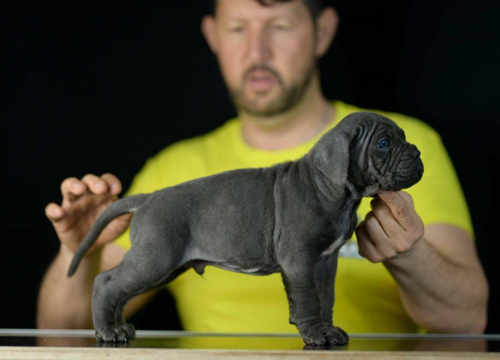 Donde comprar cachorros de cane corso en Santiago de chile y criadores de cane corso en Chile1