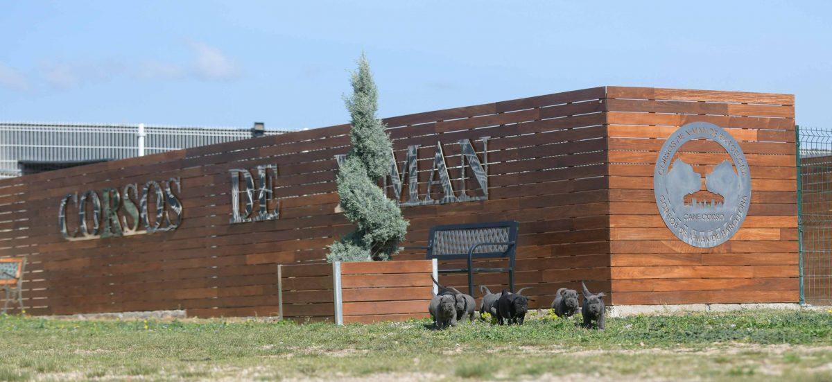 Donde comprar cachorros de cane corso en Vigo y Venta de cachorros de cane corso en Galicia