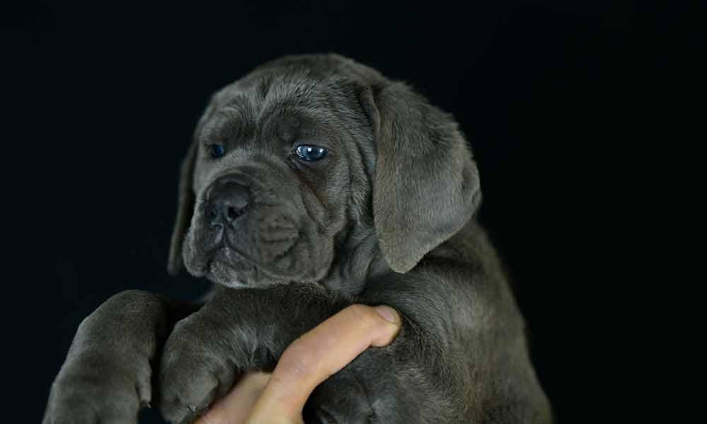 Donde comprar cachorros de cane corso en Vigo y Venta de cachorros de cane corso en Galicia1