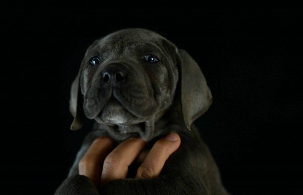 Donde comprar cachorros de cane corso italiano en Cordoba y criadores de cane corso1