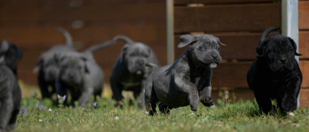 Donde comprar cachorros de cane corso italiano en madrid