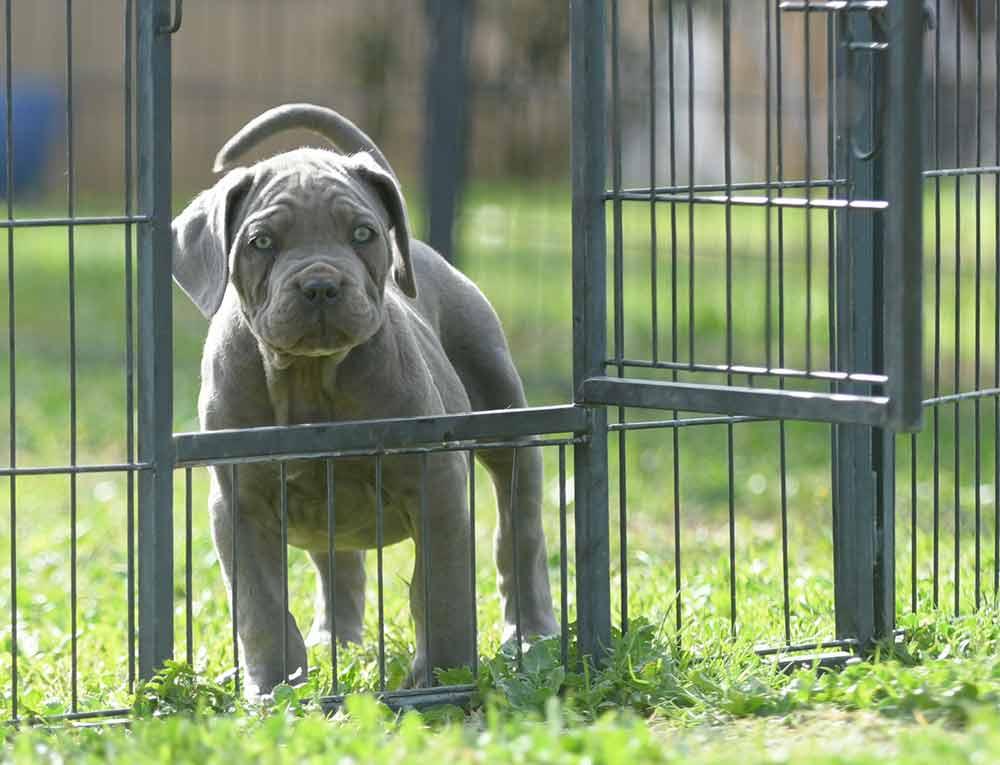 Donde comprar cachorros de perro cane corso en Mijas Y Venta de cachorros de Canecorso en Malaga-Costa del Sol