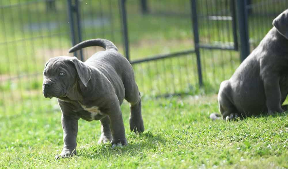 Donde comprar cachorros de perro cane corso italiano en Benalmadena Costa del Sol1