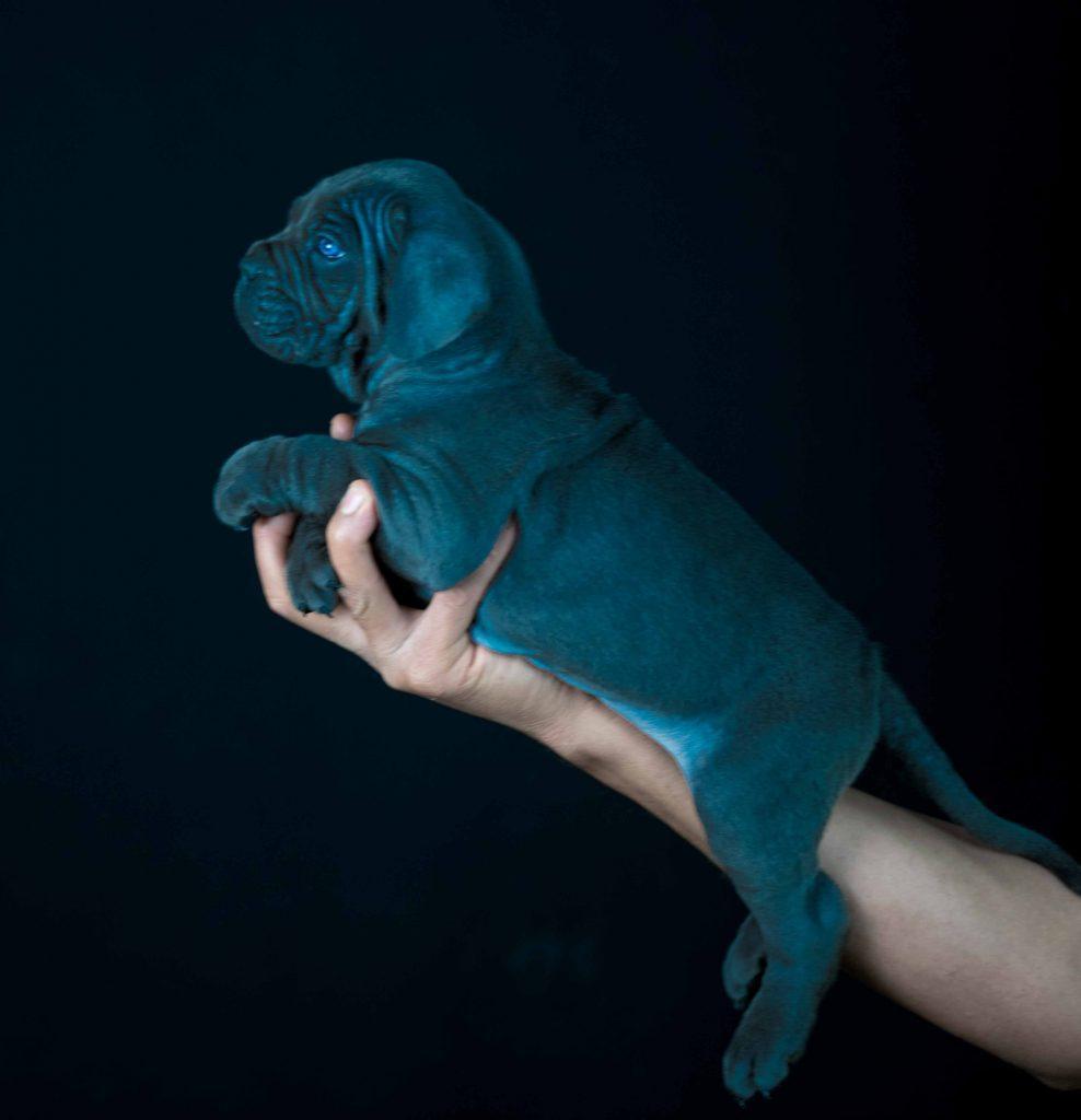 Donde comprar cane corso en Aragon y cachorros de cane corso en Zaragoza